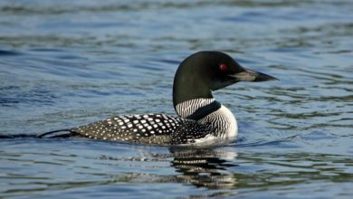 Loon Sightings